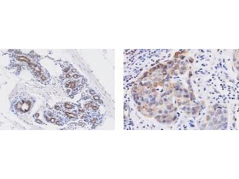 Image no. 2 for anti-Wingless-Type MMTV Integration Site Family, Member 3A (WNT3A) (AA 19-352) antibody (ABIN449669)