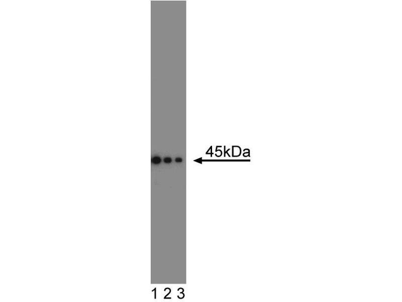 Western Blotting (WB) image for anti-FAS antibody (Fas (TNF Receptor Superfamily, Member 6)) (AA 1-163) (ABIN967817)