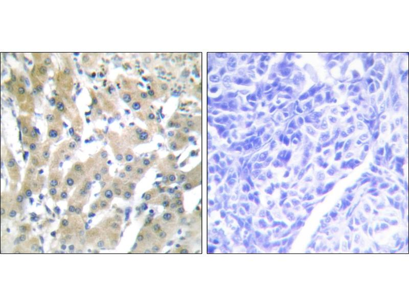 Immunohistochemistry (IHC) image for anti-Prothrombin antibody (Coagulation Factor II (thrombin)) (ABIN2164794)