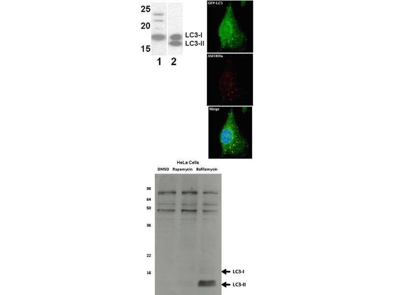 Western Blotting (WB) image for anti-LC3 (APG8) (full length) antibody (ABIN387792)