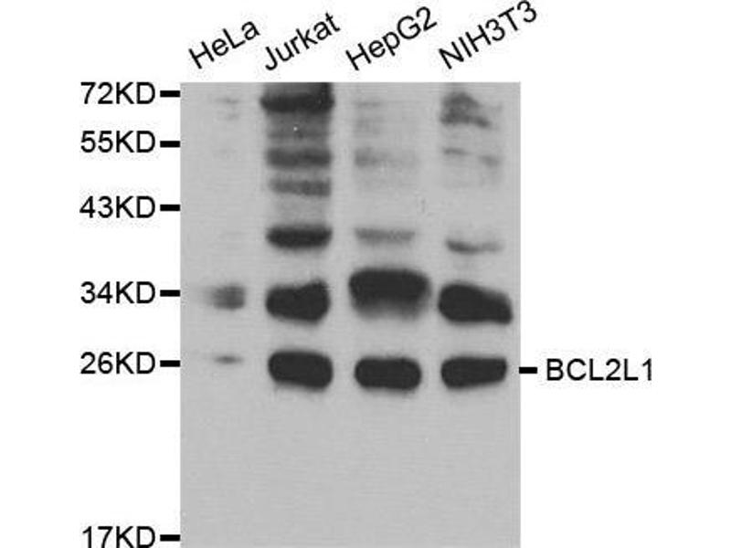 Western Blotting (WB) image for anti-BCL2-Like 1 (BCL2L1) antibody (ABIN5663608)