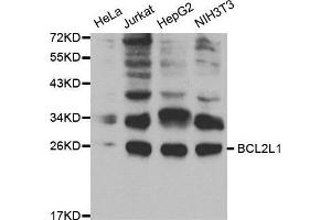 Image no. 3 for anti-BCL2-Like 1 (BCL2L1) antibody (ABIN1512625)