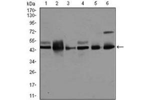 Western Blotting (WB) image for anti-Mitogen-Activated Protein Kinase 8 (MAPK8) antibody (ABIN1108135)