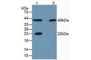 Image no. 1 for anti-Carbonic Anhydrase IV (CA4) antibody (ABIN5662370)