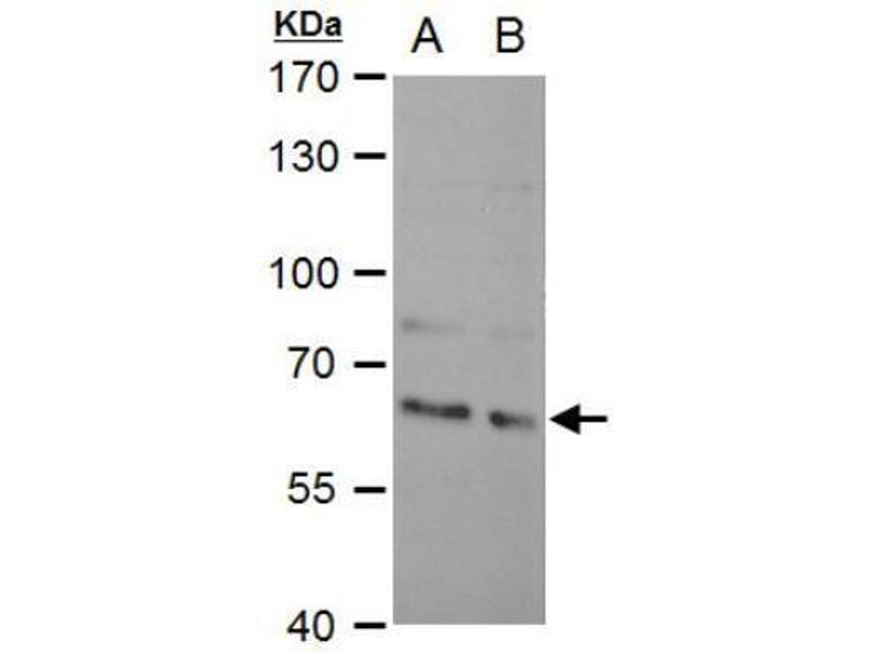 Western Blotting (WB) image for anti-KH Domain Containing, RNA Binding, Signal Transduction Associated 1 (KHDRBS1) (Center) antibody (ABIN4351945)