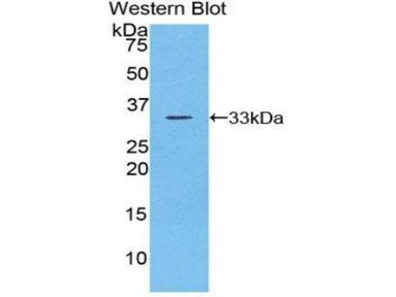 Western Blotting (WB) image for anti-Checkpoint Kinase 1 (CHEK1) (AA 194-446) antibody (ABIN1858393)