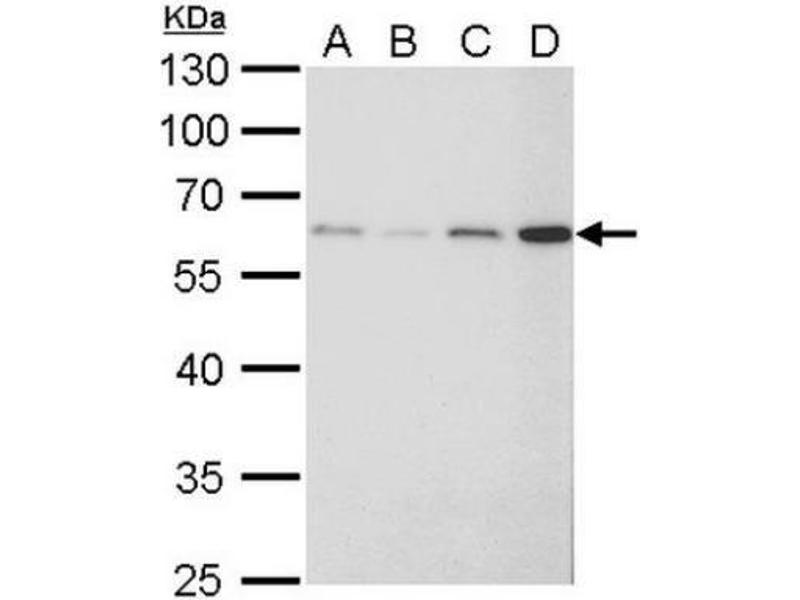 Western Blotting (WB) image for anti-Fibroblast Growth Factor Receptor-Like 1 (FGFRL1) (Center) antibody (ABIN441463)