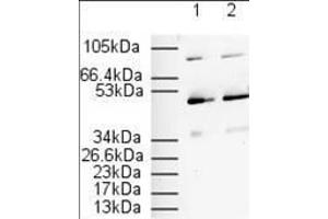Image no. 4 for anti-Peroxisome Proliferator-Activated Receptor alpha (PPARA) (N-Term) antibody (ABIN105798)