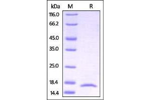 Image no. 2 for Interleukin 17A (IL17A) (AA 24-155) (Active) protein (ABIN2870824)
