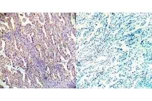 Image no. 1 for anti-Protein Kinase, AMP-Activated, beta 1 Non-Catalytic Subunit (PRKAB1) antibody (ABIN349446)