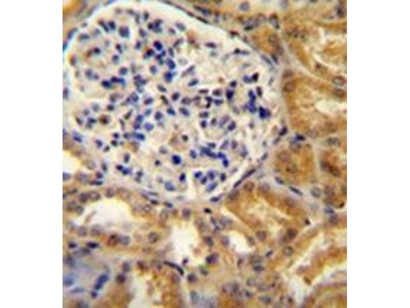 Immunohistochemistry (Paraffin-embedded Sections) (IHC (p)) image for anti-PEAR1 antibody (Platelet Endothelial Aggregation Receptor 1) (AA 968-998) (ABIN954080)