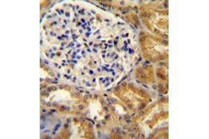 anti-Platelet Endothelial Aggregation Receptor 1 (PEAR1) (AA 968-998), (C-Term) antibody