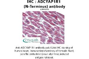 Image no. 1 for anti-Adenylate Cyclase Activating Polypeptide 1 (Pituitary) Receptor Type I (ADCYAP1R1) (Extracellular Domain), (N-Term) antibody (ABIN1731540)