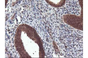 Image no. 1 for anti-Leucine Carboxyl Methyltransferase 1 (LCMT1) antibody (ABIN1499109)