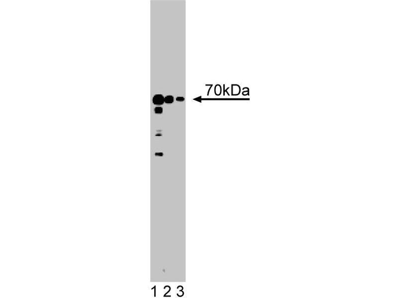 Western Blotting (WB) image for anti-Solute Carrier Family 25 (Mitochondrial Carrier, Aralar), Member 12 (Slc25a12) (AA 1-119) antibody (ABIN968399)