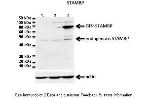 Image no. 1 for anti-Cell Division Cycle 26 Homolog (S. Cerevisiae) (CDC26) (C-Term) antibody (ABIN2787994)