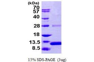 Image no. 1 for S100 Calcium Binding Protein A2 (S100A2) (AA 1-97) protein (His tag) (ABIN667377)
