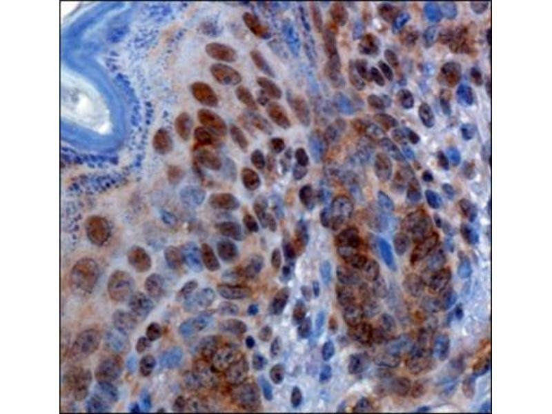 Immunohistochemistry (Paraffin-embedded Sections) (IHC (p)) image for anti-RBBP6 抗体 (Retinoblastoma Binding Protein 6) (AA 1600-1650) (ABIN4349510)
