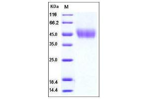 Image no. 1 for CD80 (CD80) (AA 1-242), (Extracellular Domain) (Active) protein (His tag) (ABIN2003258)