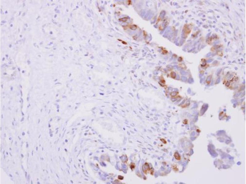 Immunohistochemistry (IHC) image for anti-P450 (Cytochrome) Oxidoreductase (POR) (N-Term) antibody (ABIN2854935)