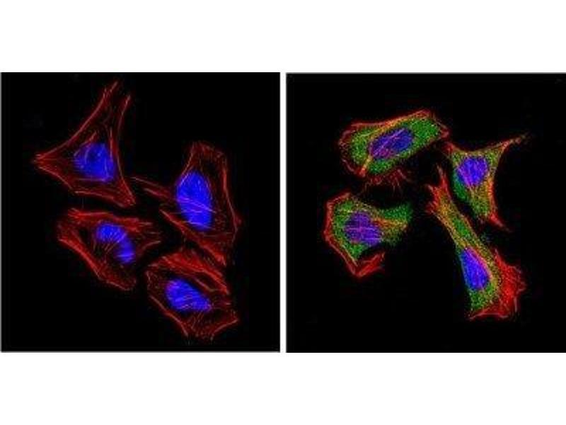 Immunofluorescence (IF) image for anti-Dipeptidyl-Peptidase 4 (DPP4) antibody (ABIN4306069)
