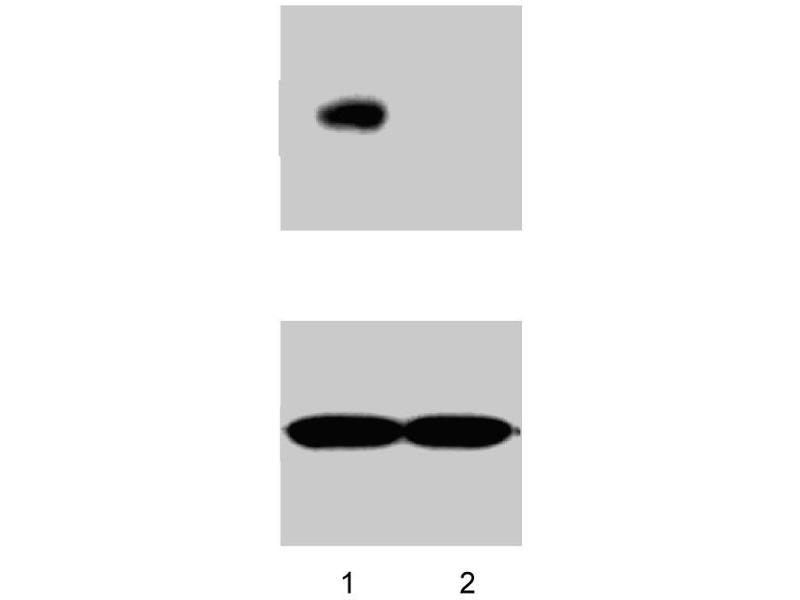 Western Blotting (WB) image for anti-Nanog Homeobox (NANOG) antibody (ABIN967661)