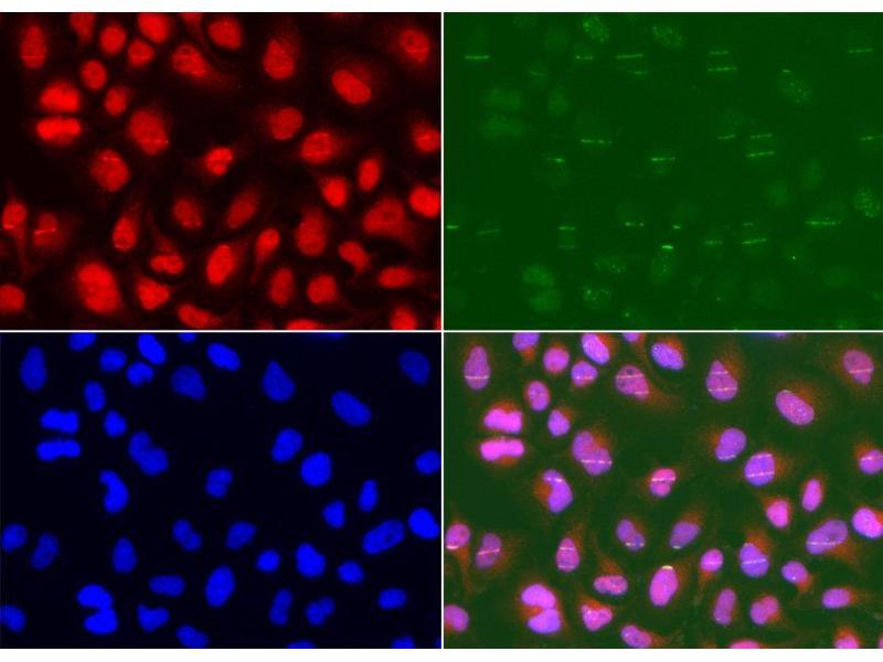 Immunofluorescence (IF) image for anti-MSH2 antibody (ABIN1873751)