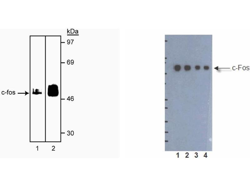 Western Blotting (WB) image for anti-c-FOS antibody (C-Fos) (ABIN967415)