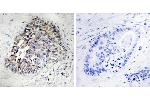 Image no. 2 for anti-Cytochrome P450, Family 2, Subfamily S, Polypeptide 1 (CYP2S1) antibody (ABIN1575994)