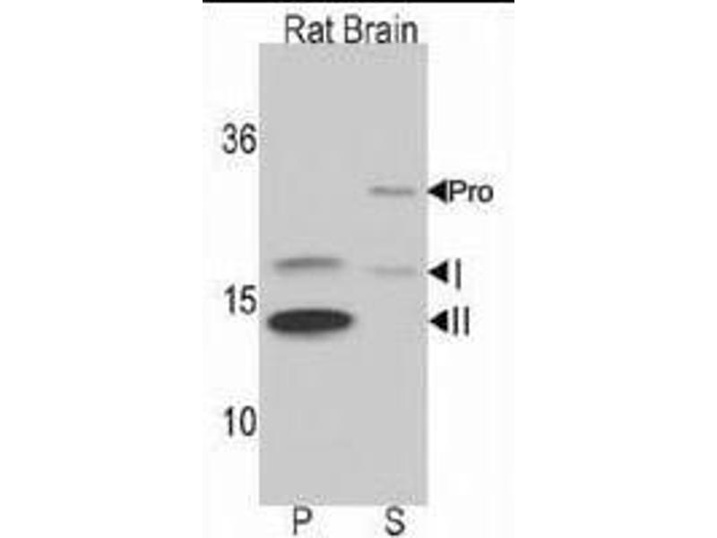 Western Blotting (WB) image for anti-LC3 (APG8B) (AA 1-30), (N-Term) antibody (ABIN388473)