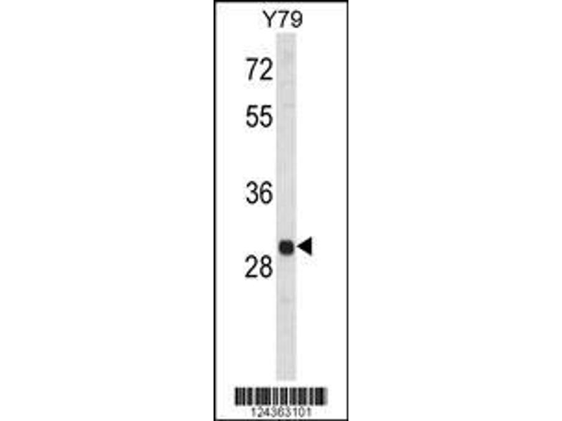 Western Blotting (WB) image for anti-MAPK1IP1L antibody (Mitogen-Activated Protein Kinase 1 Interacting Protein 1-Like) (AA 108-137) (ABIN653686)