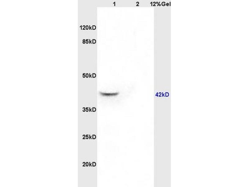 SDS-PAGE (SDS) image for anti-Guanine Nucleotide Binding Protein (G Protein), Q Polypeptide (GNAQ) (AA 50-100) antibody (ABIN763181)