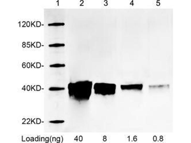 Western Blotting (WB) image for anti-Red Fluorescent Protein (RFP) antibody (ABIN1573924)