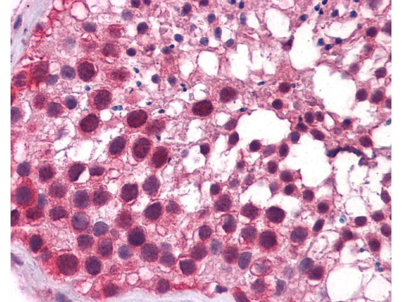 Immunohistochemistry (IHC) image for anti-Kruppel-Like Factor 9 (KLF9) (N-Term) antibody (ABIN182351)