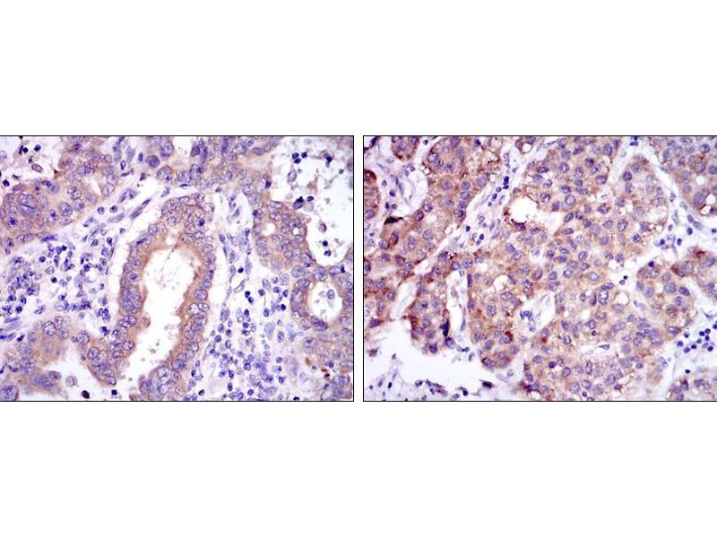 Immunohistochemistry (IHC) image for anti-NFkB cRel antibody (ABIN968997)