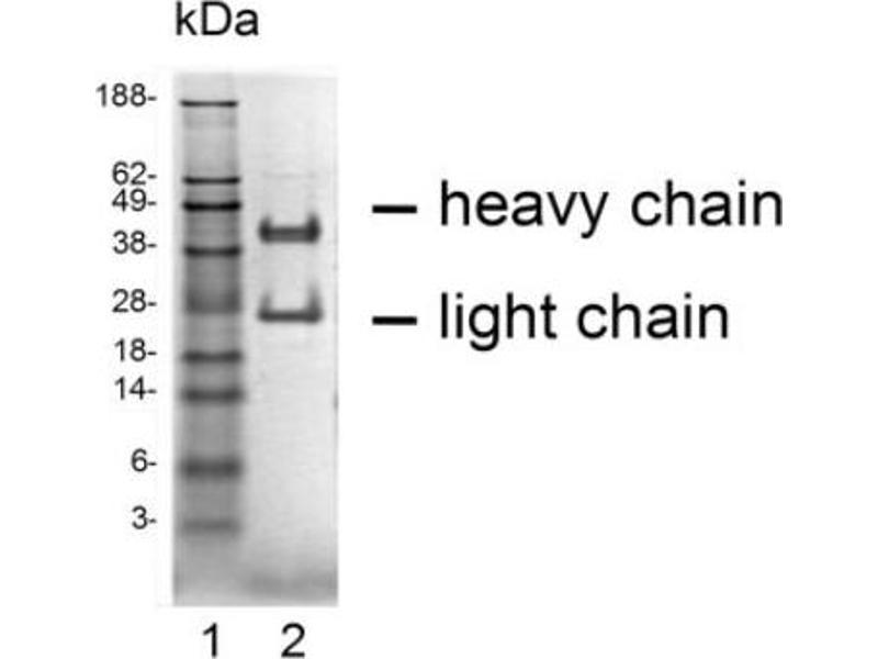SDS-PAGE (SDS) image for anti-C-C Chemokine Receptor Type 5 (CCR5) antibody (ABIN1381740)