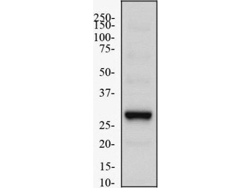 Western Blotting (WB) image for anti-EGLN3 antibody (Egl Nine Homolog 3 (C. Elegans)) (C-Term) (ABIN251418)