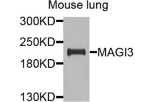 Image no. 1 for anti-Membrane Associated Guanylate Kinase, WW and PDZ Domain Containing 3 (MAGI3) antibody (ABIN4904284)