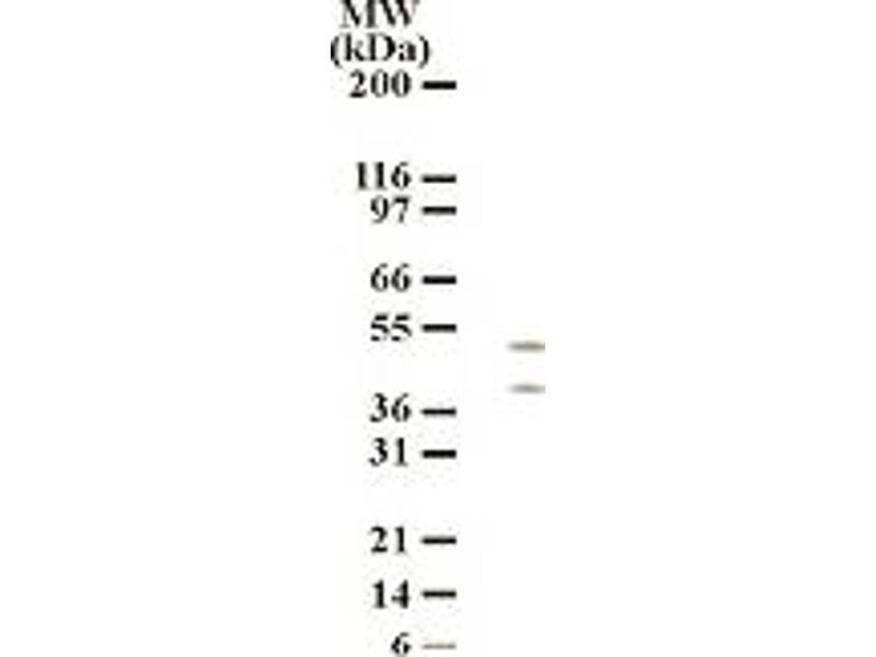 Western Blotting (WB) image for anti-HtrA Serine Peptidase 2 (HTRA2) (AA 335-350) antibody (ABIN121278)
