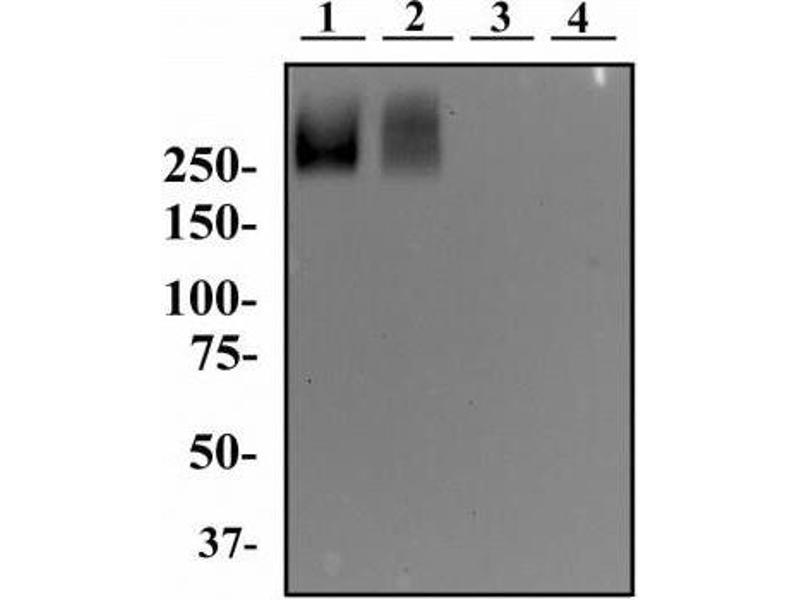 Western Blotting (WB) image for anti-Podocalyxin-Like (PODXL) antibody (ABIN152150)