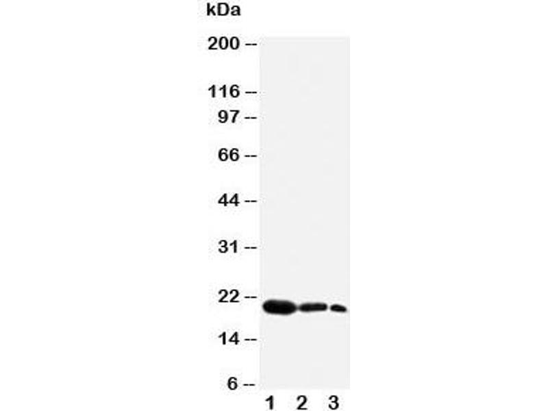 Western Blotting (WB) image for anti-Fibroblast Growth Factor 7 (FGF7) (N-Term) antibody (ABIN3030938)