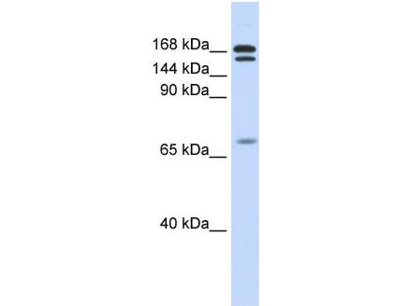 Western Blotting (WB) image for anti-Cut-Like Homeobox 2 (CUX2) (N-Term) antibody (ABIN785373)