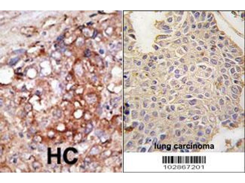 Immunohistochemistry (IHC) image for anti-MAP2 antibody (MAP-2) (AA 1766-1796) (ABIN388759)