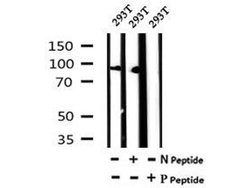 Image no. 2 for anti-Cullin 4B (CUL4B) (pThr48) antibody (ABIN6269583)