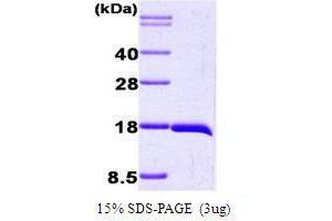 SDS-PAGE (SDS) image for Interleukin 1, beta (IL1B) (AA 117-269) peptide (ABIN934955)