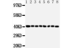 Image no. 1 for anti-Peptidylprolyl Isomerase D (PPID) (AA 351-370), (C-Term) antibody (ABIN3044408)