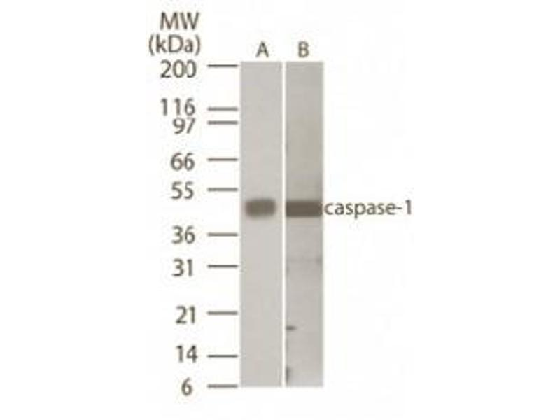 Western Blotting (WB) image for anti-Caspase 1 antibody (CASP1) (AA 371-390) (ABIN121334)