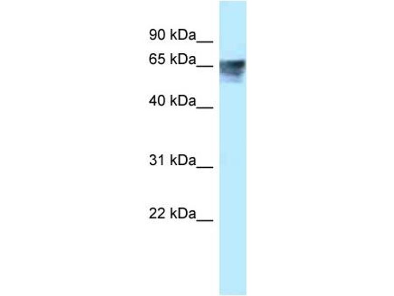 Western Blotting (WB) image for anti-Thyroid Hormone Receptor, alpha (THRA) (Middle Region) antibody (ABIN2776019)