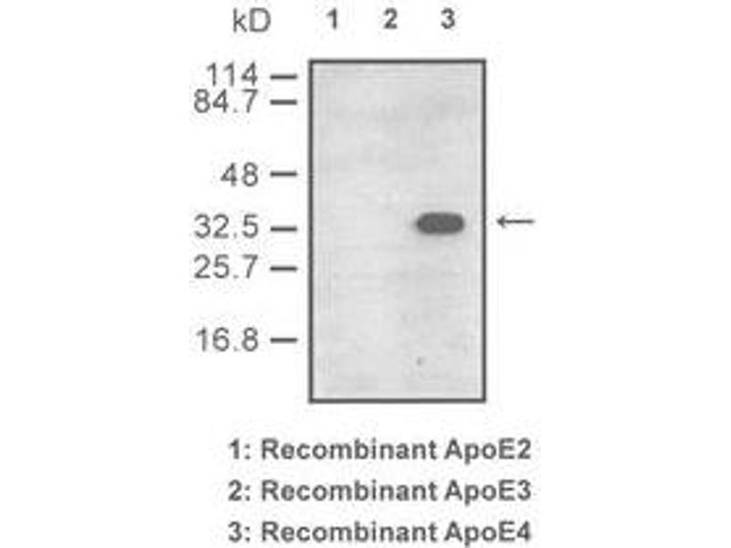 Western Blot (WB) image for anti-ApoE4 Antikörper (ABIN180022)