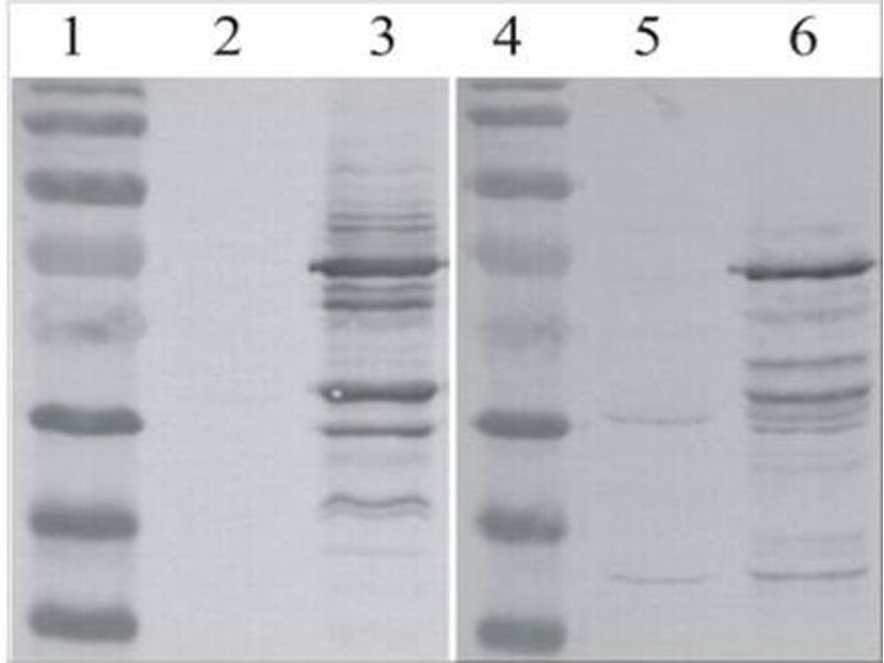Mlv P30 Antibody Abin457547